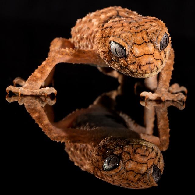 Gecko, Rough Knob, Lizard, Australia, Knob-tailed