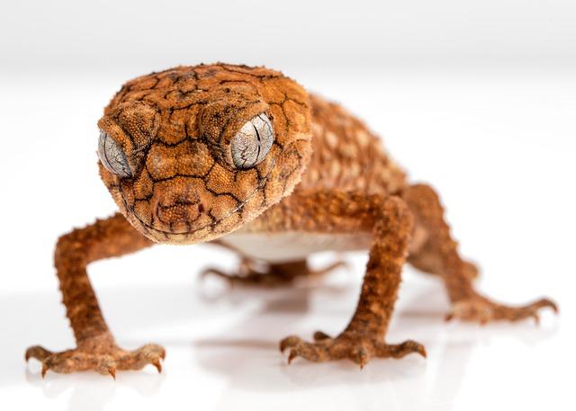 Gecko, Rough Knob, Centralian, Lizard, Animal