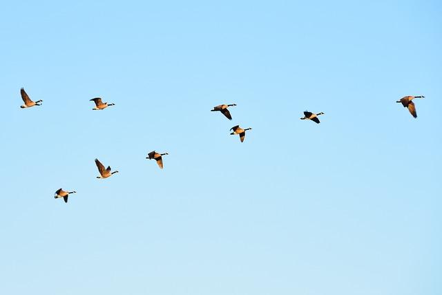 Geese, Fly, Birds, Air