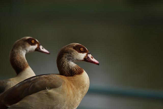 Animals, Geese, Egyptian Goose, Birds, Park