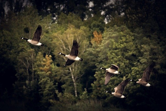 Geese, Migratory Birds, Flight, Fly, Flying Birds