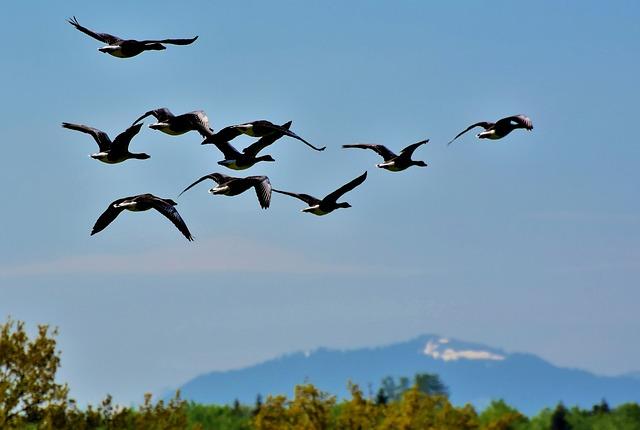 Wild Geese, Grey Geese, Geese, Birds, Flock Of Birds