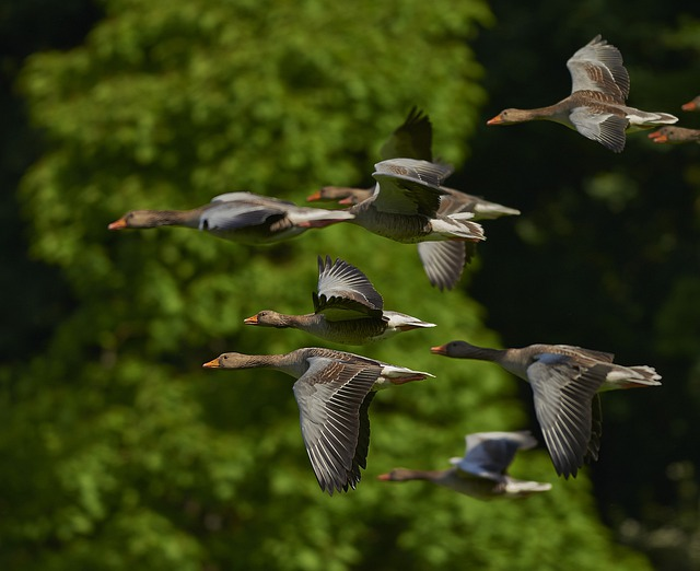 Flock Of Birds, Canada Geese, Geese, Wing, Goose