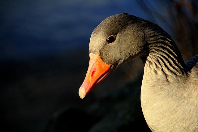 Animal, Gander, Greylag Goose, Geese, Bill