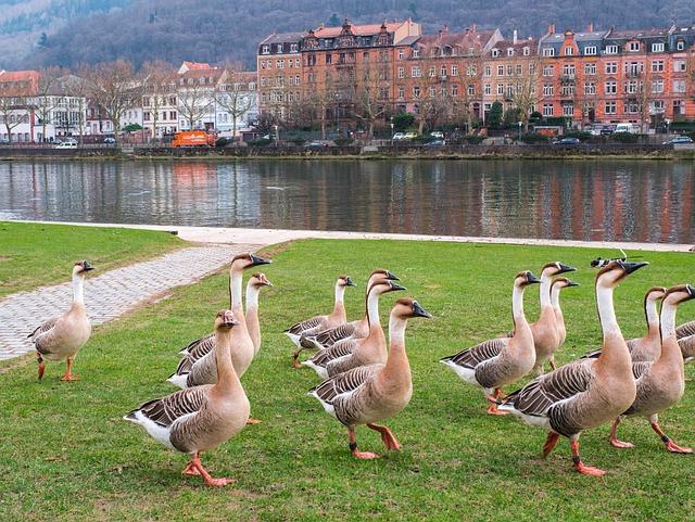 Heidelberg, Geese, River