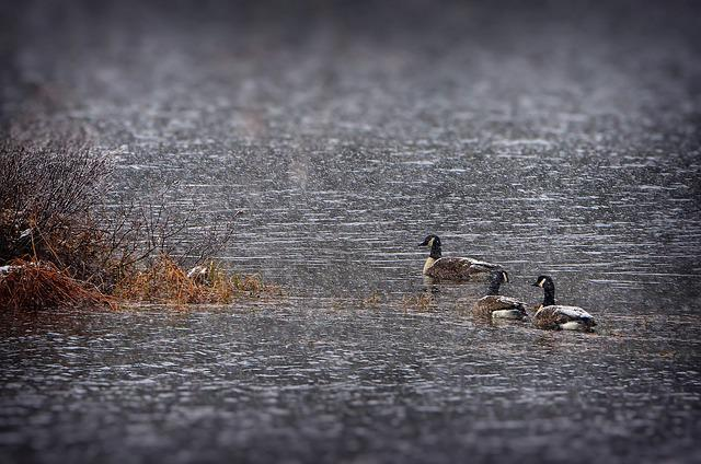 Geese, Snow, Bustards, Lake, Nature, Water, Québec