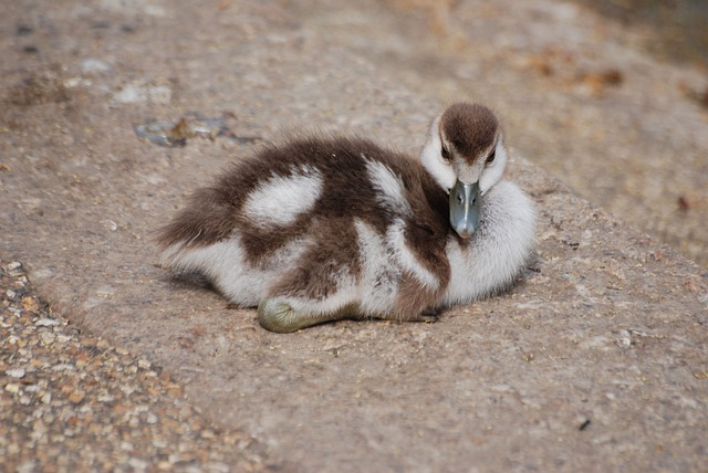 Geese, Waterfowl, Gosling, Chick, Bird