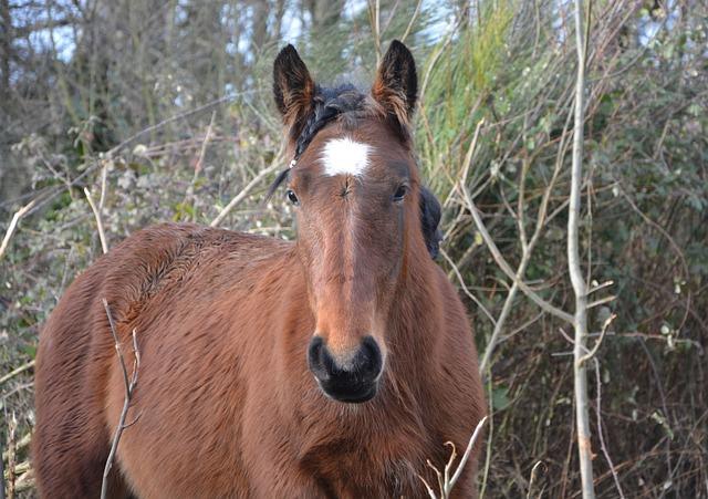 Horse, Gelding, Standard, Brown Horse, Ears White