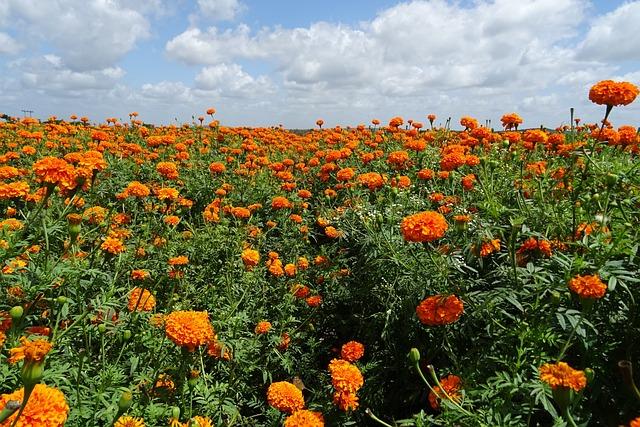 Flower, Marigold, Orange, Yellow, Genda, Jhenduphool