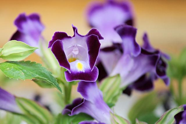 Gentian, Garden Gentian, Ornamental Flower