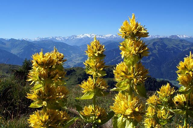 Yellow Gentian, Gentiana Lutea, Blossom, Bloom, Flower