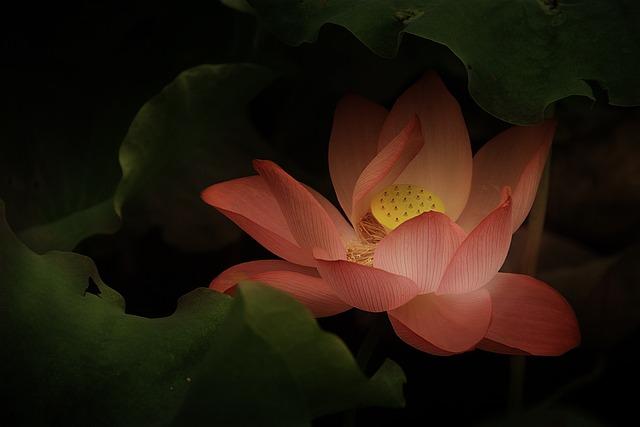 Lotus, Classical, Gentle