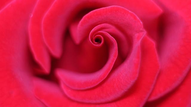 Rose, Love Scam, Attachment, Love, Gentle, Petal