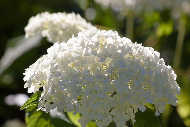 Hydrangea, Genus, Greenhouse Hydrangea, Hydrangeaceae