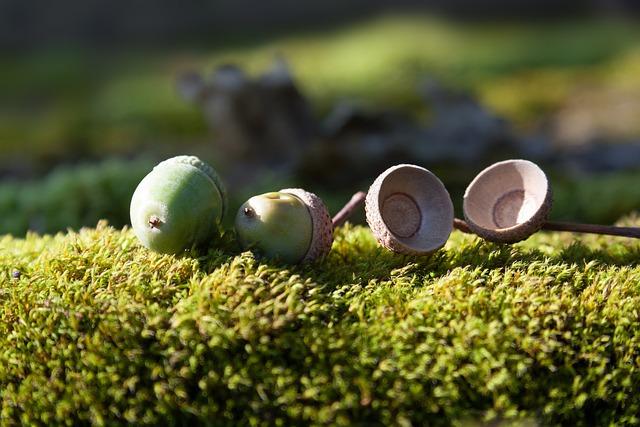 Oak Fruit, Acorn, Fruit, Oak, Quercus, Genus