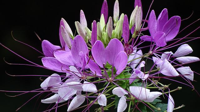 Cleomenes, Georgia, Nature, Flowers