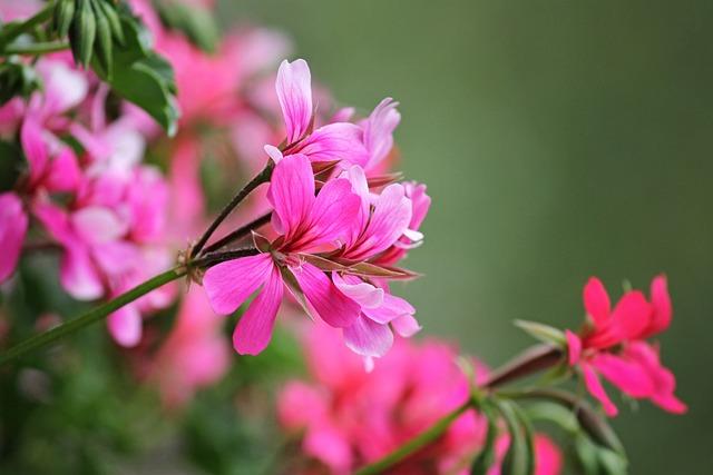 Geranium, Balcony Flower, Flowers, Balcony Plant
