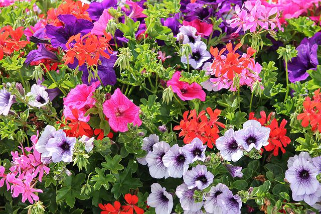 Colorful Flowers, Geranium, Petunia, Colorful