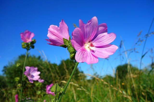 Cranesbill, Meadow Cranesbill, Flower, Geranium, Plant