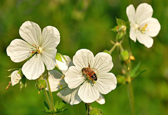 Bloody Geranium, Geranium Sanguineum, Flower