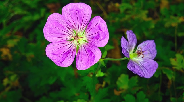 Flowers, Geranium, Geranium Sanguineum