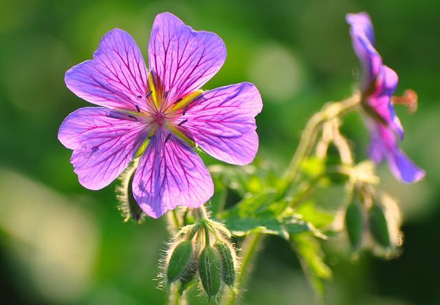Bloody Geranium, Geranium Sanguineumflower, Bloom
