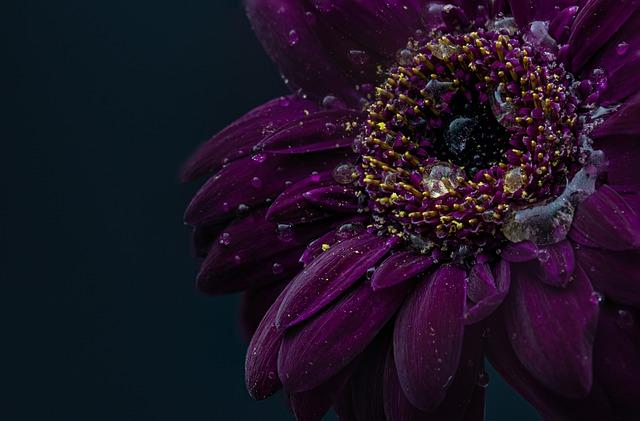 Gerbera, Drip, Wet, Purple, Flower, Blossom, Bloom