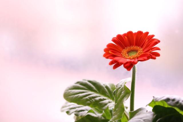Gerbera, Flower, Room Plant