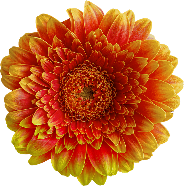 Gerbera, Flower, Blossom, Bloom, Nature, Close, Orange