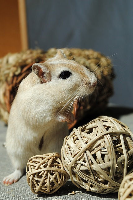 Domestic Animal, Rodent, Gerbil, Games