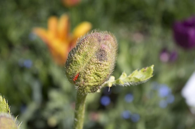 Poppy Bud, German Federal Horticultural Show, Havelland