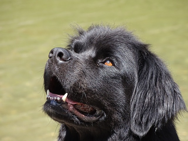 Newfoundland, Dog, Black, German Longhaired Pointer