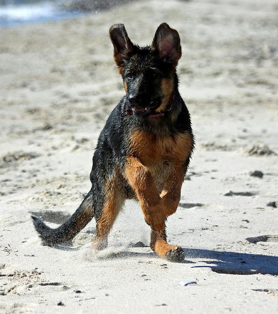 German Shepherd Dog Puppy, Beach, Play