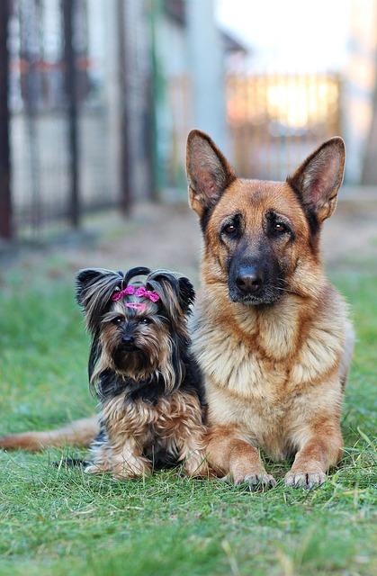 German Shepherd, Yorkshire Terrier, Dogs, Friendship