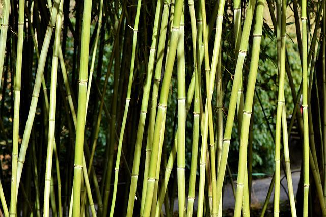 Bamboo, Bamboo Forest, Giant Bamboo, Bamboo Plants