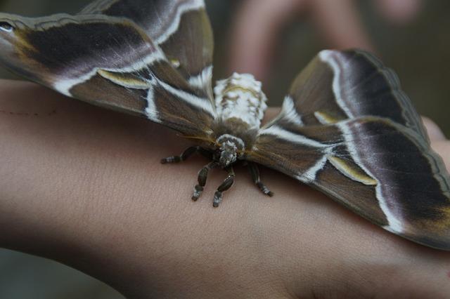 Attacus Atlas, Butterfly, Giant Butterfly, Atlas Moth