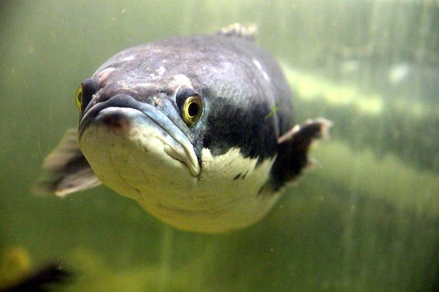 Brown Snakehead, Giant Snakehead, Giant Mudfish
