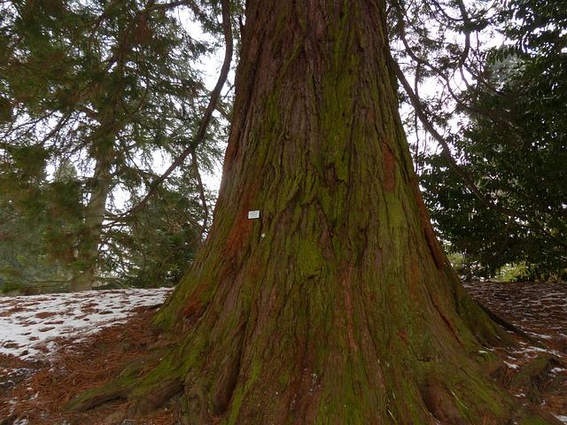 Mountain Redwood, Giant Redwood