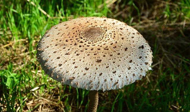 Giant Schirmling, Macrolepiota, Mushroom, Forest