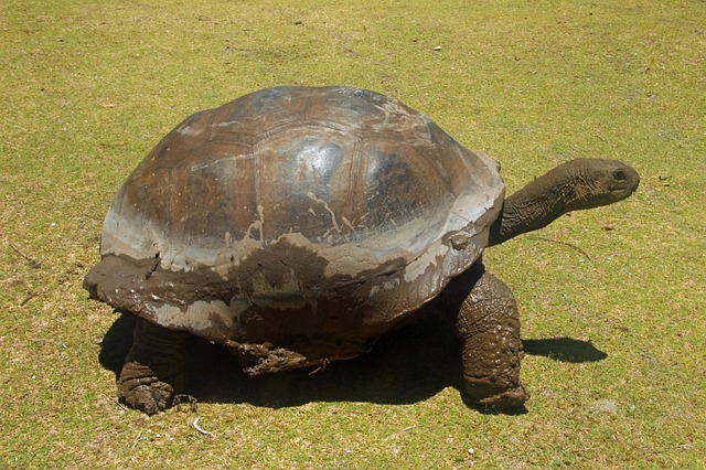 Turtle, Giant Tortoise, Seychelles, Curieuse, Slowly
