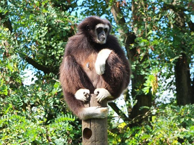 Gibbon, Gibbon White Hands, Ape
