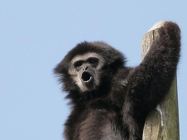 Gibbon White Hands, Animals, Great Apes