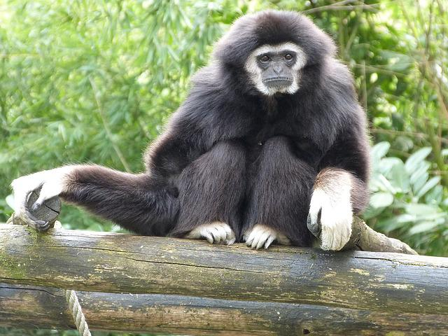 Gibbon White Hands, Monkeys, Animals