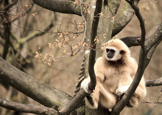 Gibbon, White-handed Gibbon, Primate, Monkey, Zoo