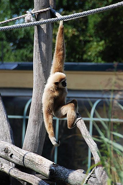 Gibbon, Zoo, Balance, White-handed Gibbon