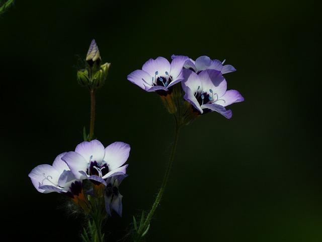 Vogelaeuglein, Gilia Tricolor, Flower, Blossom, Bloom