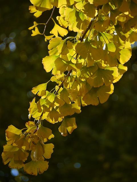 Yellow Leaves, Gingko Tree, Maidenhair Tree, Red, Huang