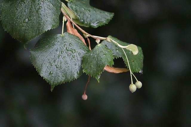 Ginkgo Biloba, Maidenhair Tree, Linden, Tree, Summer