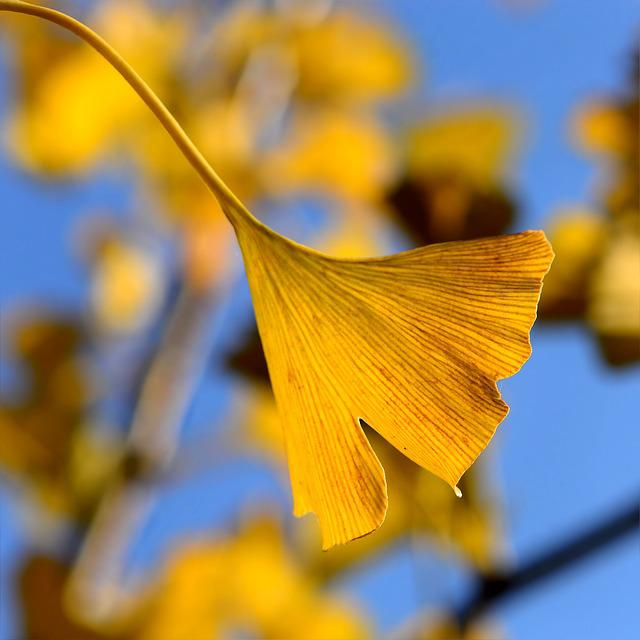 Ginkgo In The Autumn, Ginko, Ginkgo Biloba, Autumn Leaf