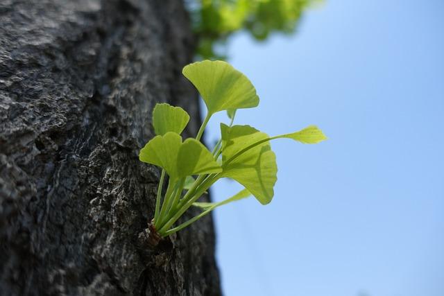 Ginkgo, Germination, Leaf